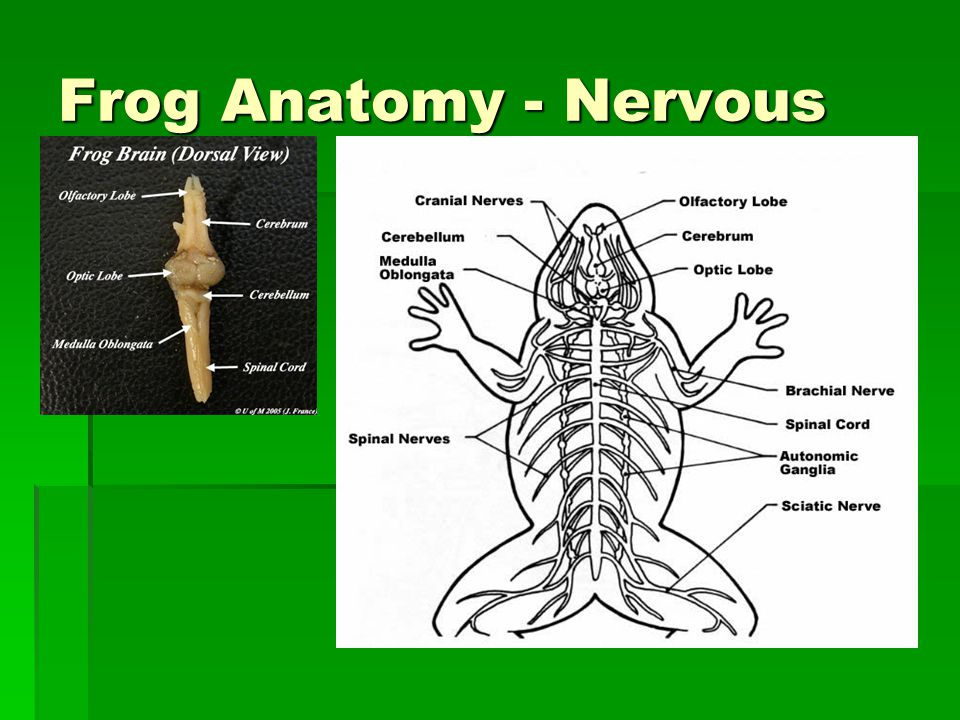 Frog Anatomy - Nervous