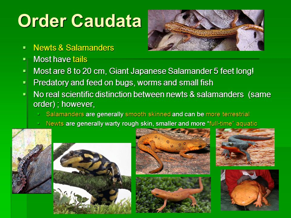 Order Caudata Newts & Salamanders Most have tails