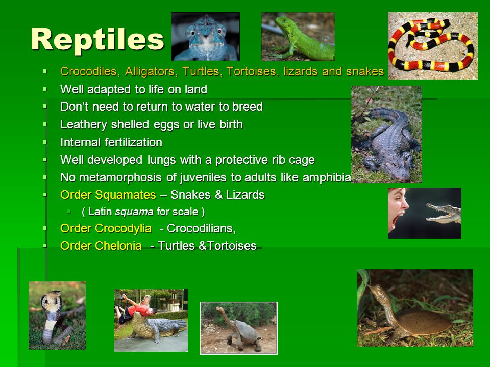 Reptiles Crocodiles, Alligators, Turtles, Tortoises, lizards and snakes. Well adapted to life on land.