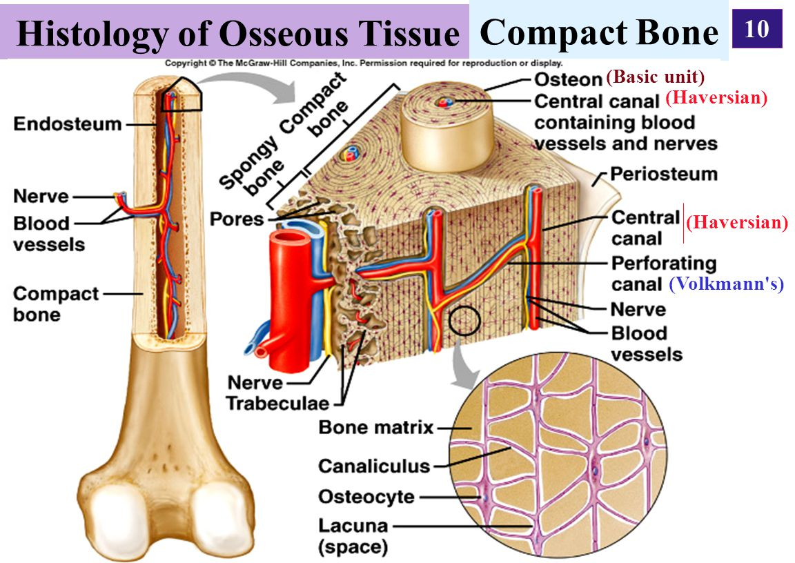 Histology of Osseous Tissue