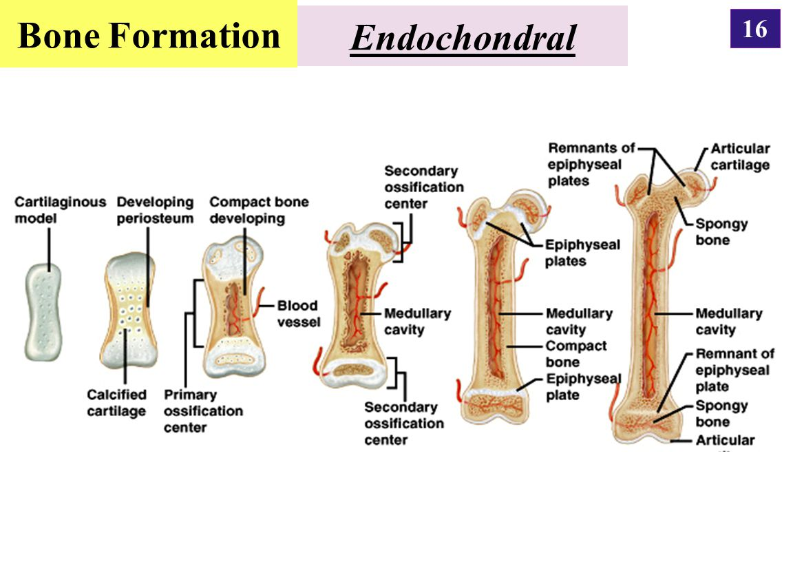 Bone Formation Endochondral