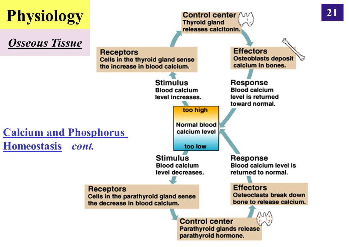 Physiology Osseous Tissue Calcium and Phosphorus Homeostasis cont.