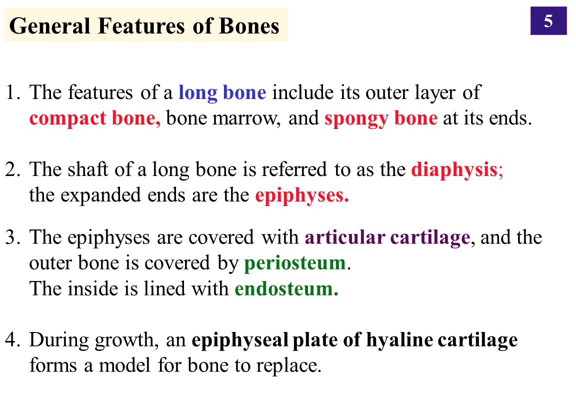 General Features of Bones