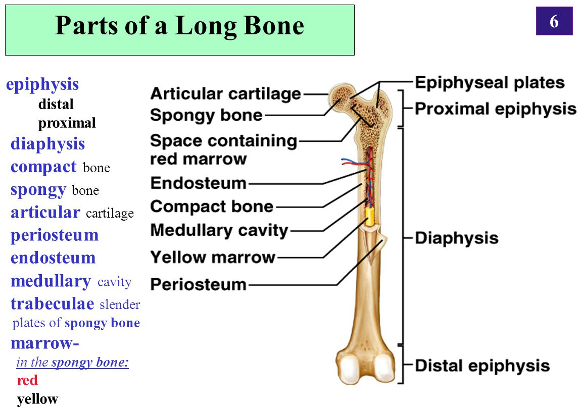 Parts of a Long Bone epiphysis diaphysis compact bone spongy bone