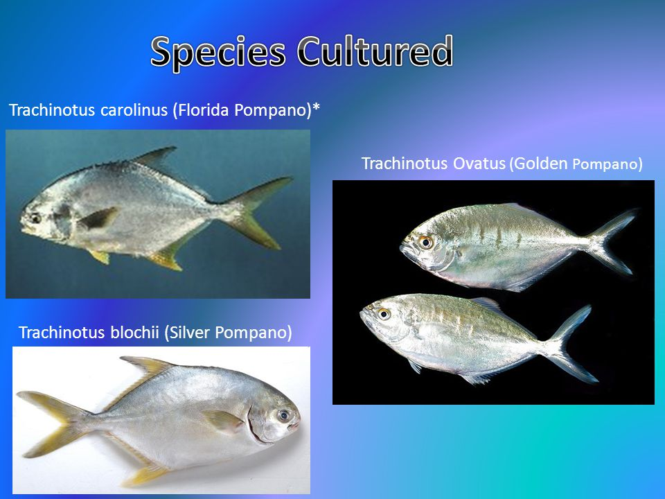 Species Cultured Trachinotus carolinus (Florida Pompano)*