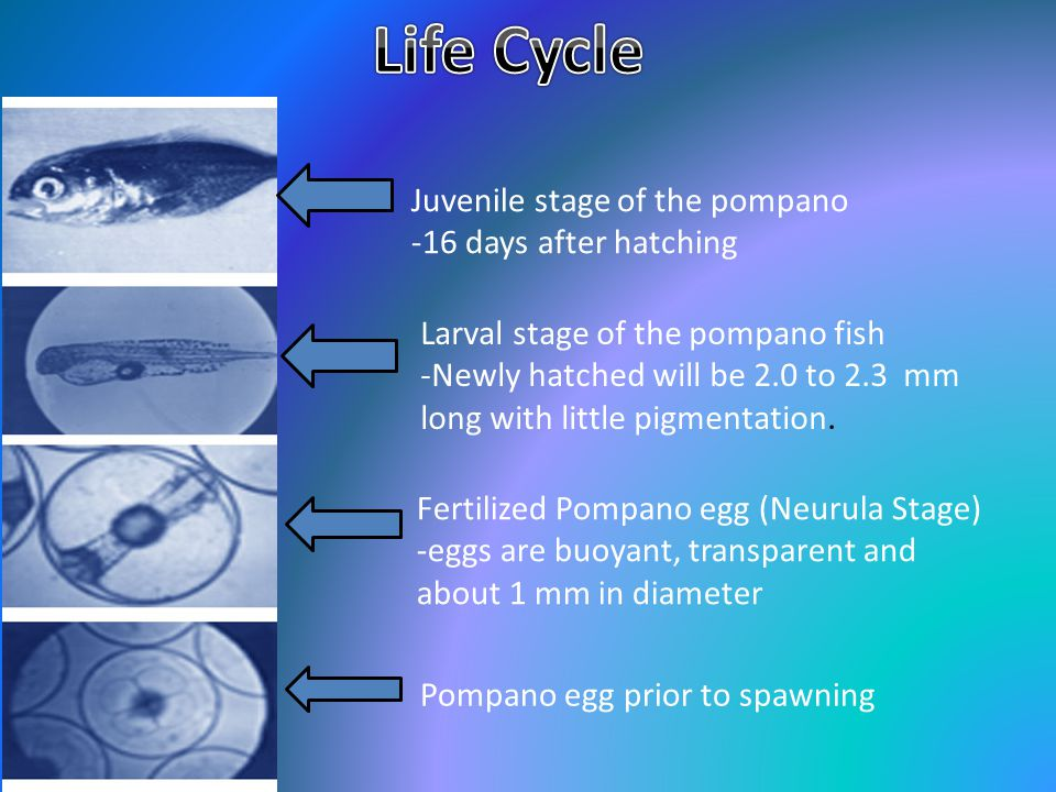Life Cycle Juvenile stage of the pompano -16 days after hatching