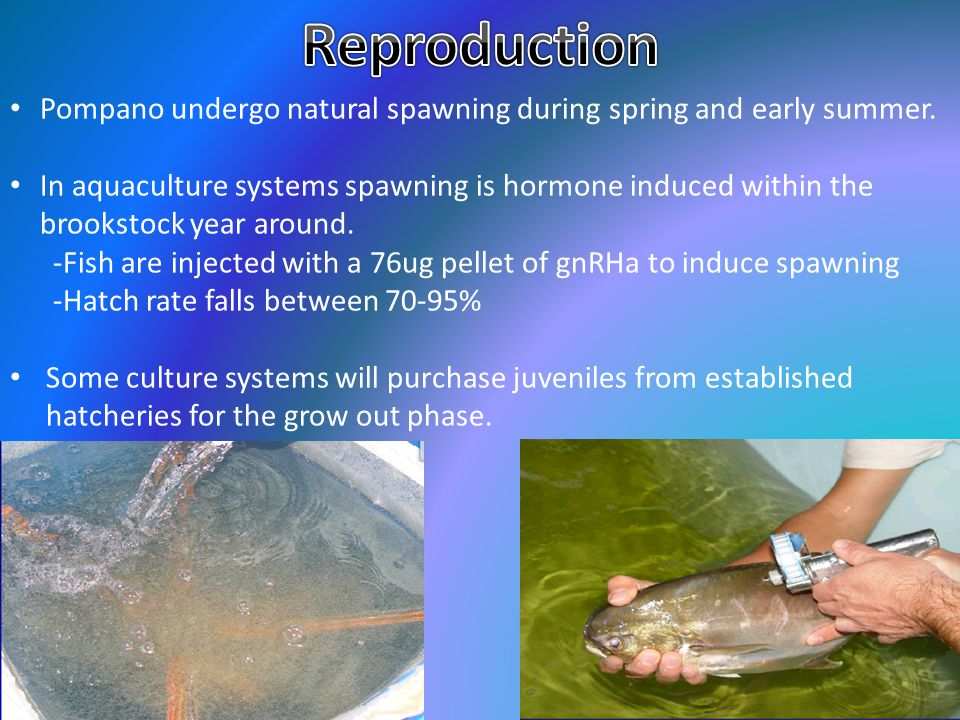 Reproduction Pompano undergo natural spawning during spring and early summer.