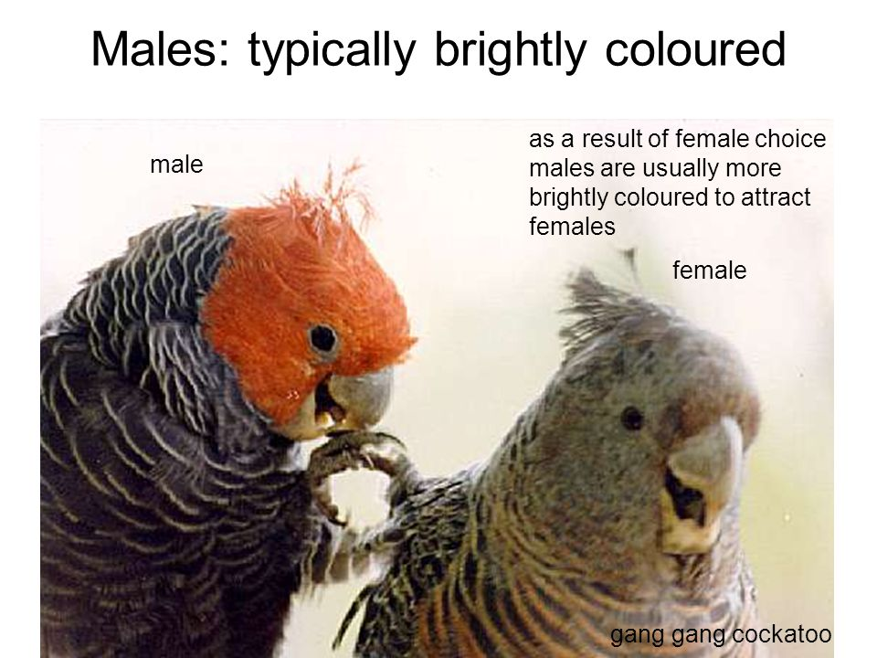 Males: typically brightly coloured