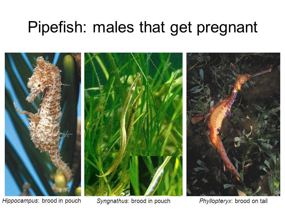 Pipefish: males that get pregnant
