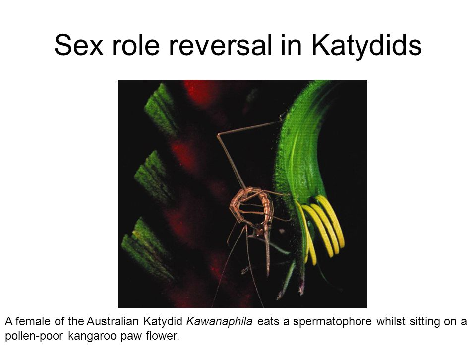 Sex role reversal in Katydids