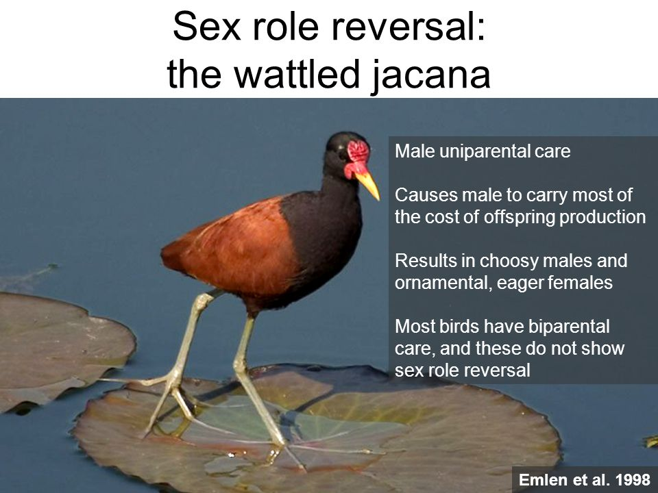 Sex role reversal: the wattled jacana
