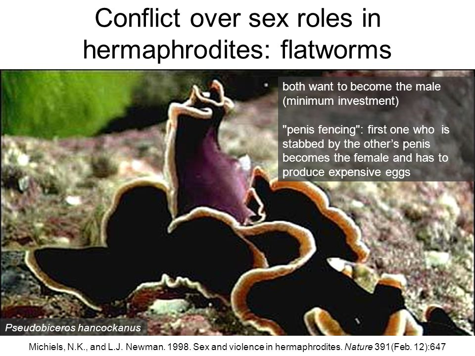 Conflict over sex roles in hermaphrodites: flatworms
