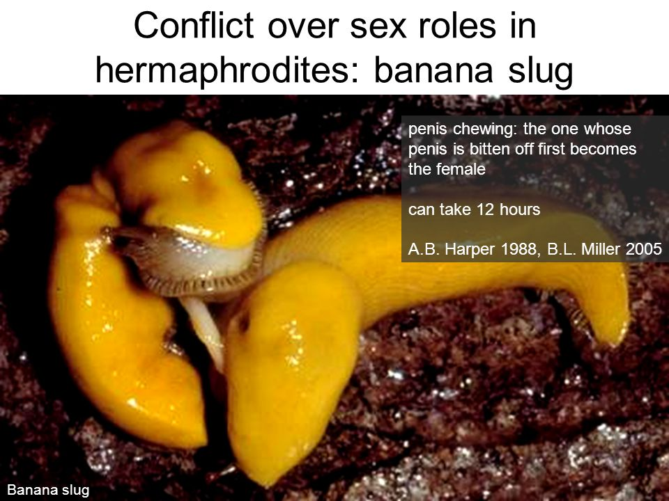 Conflict over sex roles in hermaphrodites: banana slug