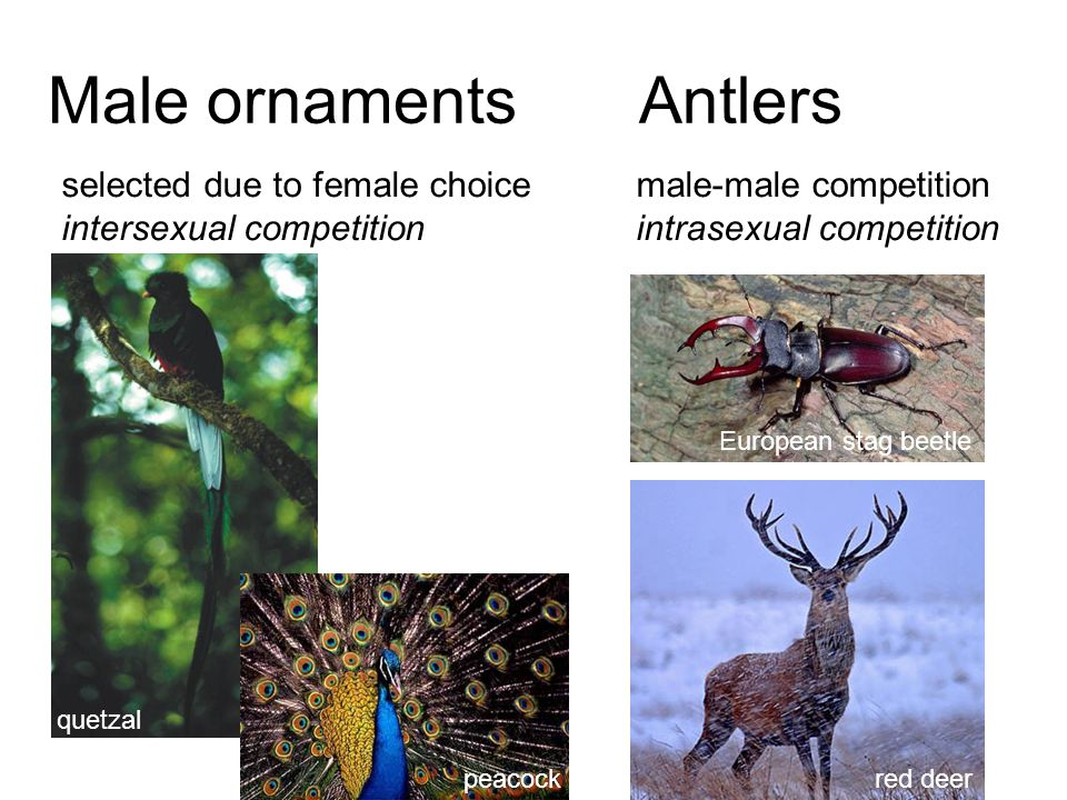 Male ornaments Antlers