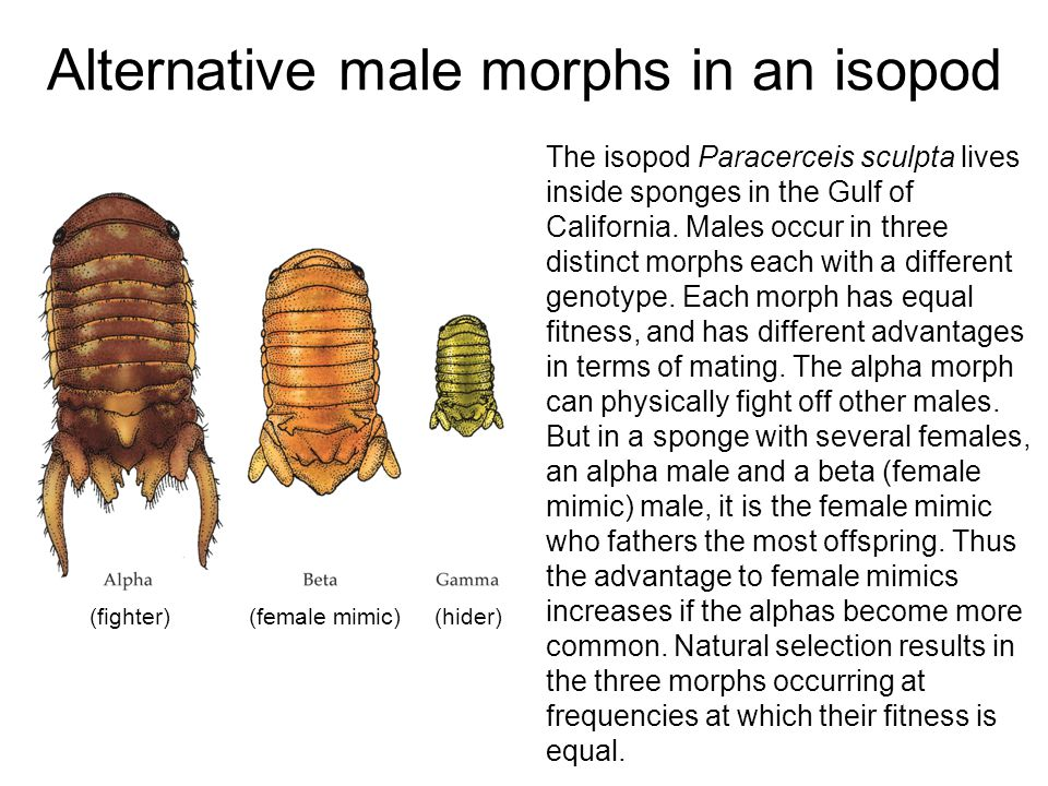 Alternative male morphs in an isopod