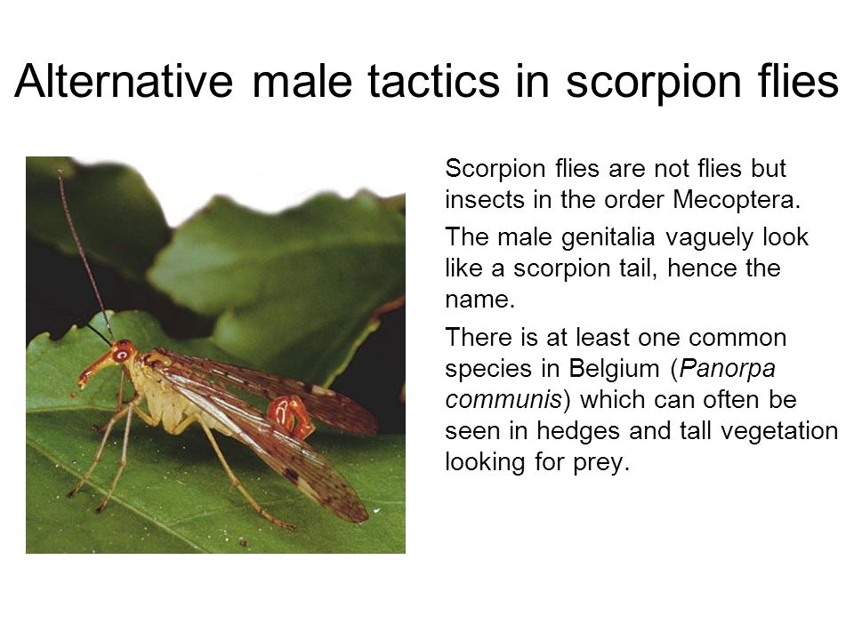 Alternative male tactics in scorpion flies