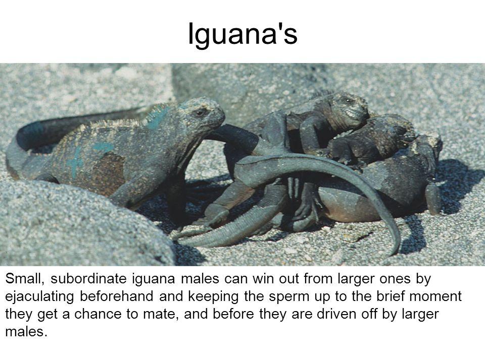 Iguana s