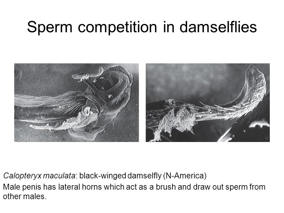 Sperm competition in damselflies