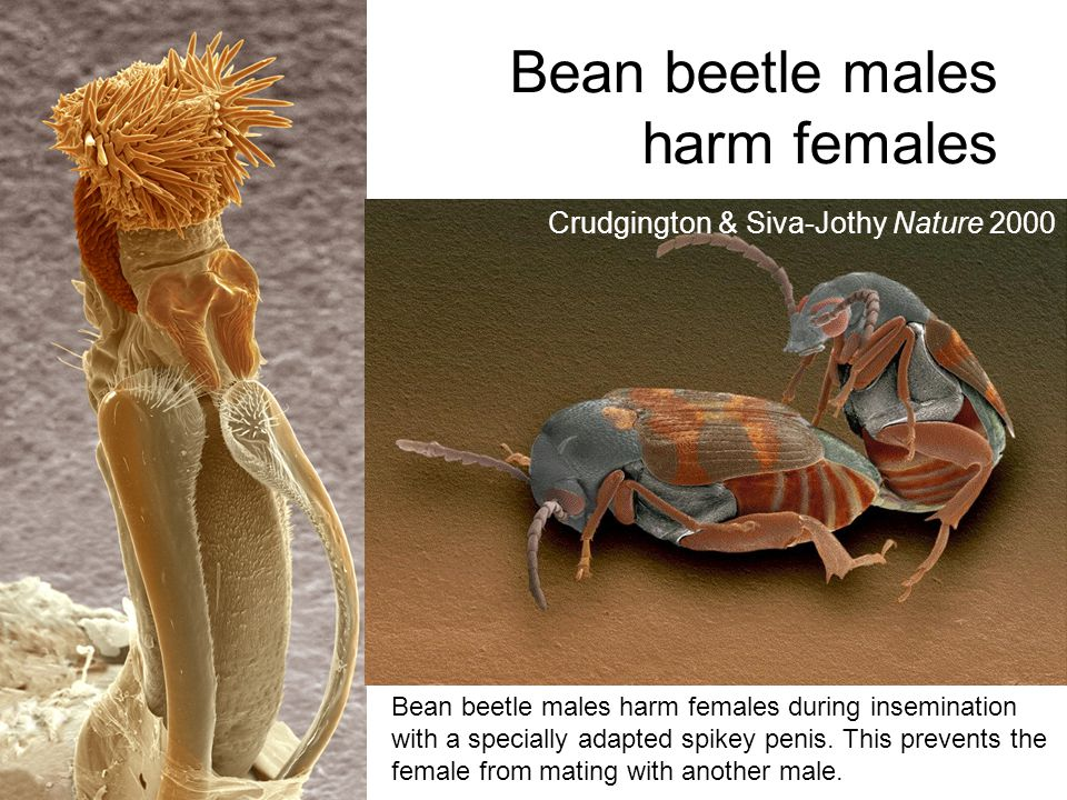 Bean beetle males harm females