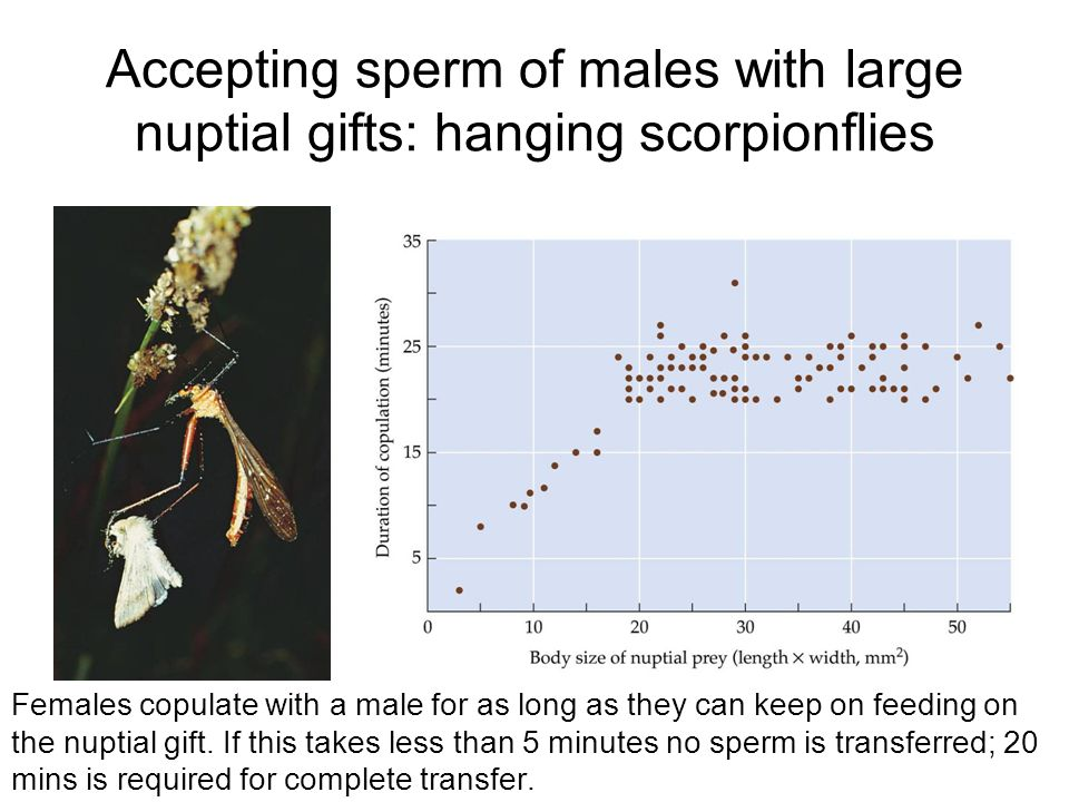 Accepting sperm of males with large nuptial gifts: hanging scorpionflies