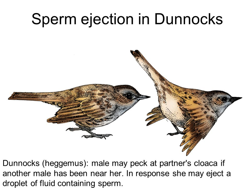 Sperm ejection in Dunnocks