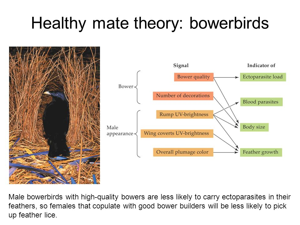 Healthy mate theory: bowerbirds