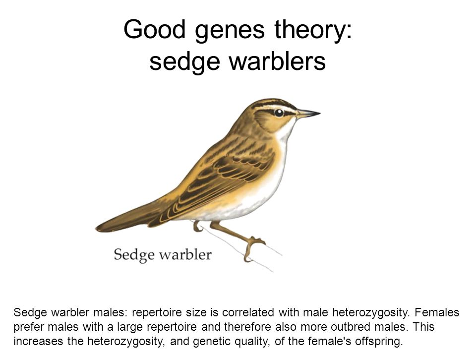 Good genes theory: sedge warblers