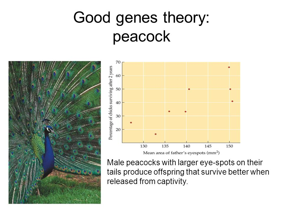 Good genes theory: peacock