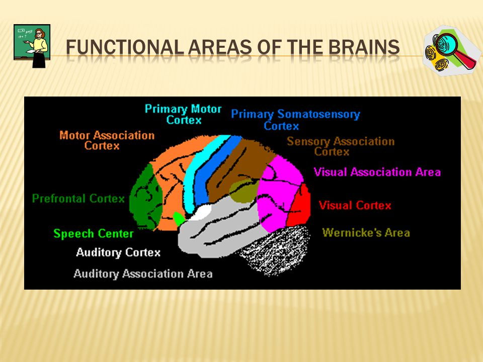 Functional areas of the brains
