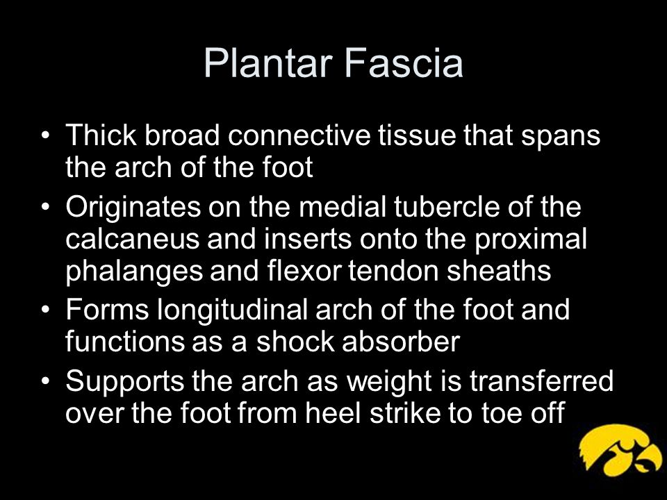 Plantar Fascia Thick broad connective tissue that spans the arch of the foot.