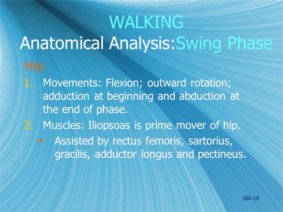 WALKING Anatomical Analysis:Swing Phase