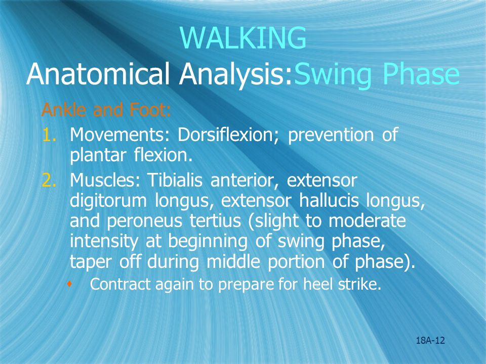 WALKING Anatomical Analysis:Swing Phase