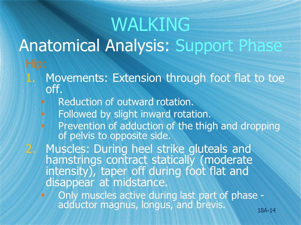 WALKING Anatomical Analysis: Support Phase