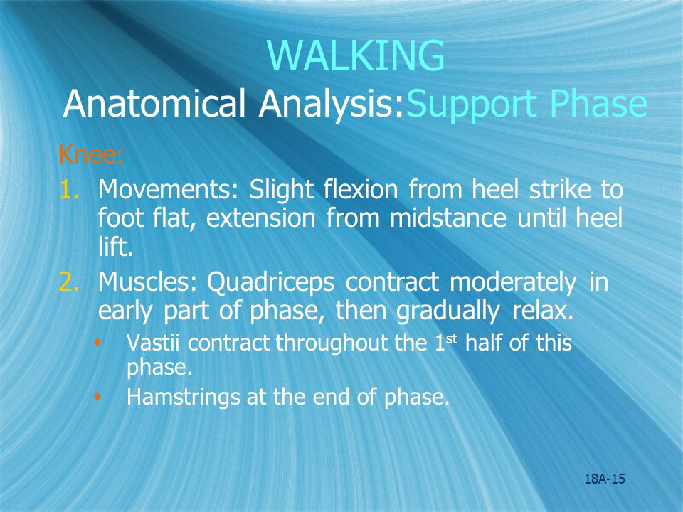 WALKING Anatomical Analysis:Support Phase