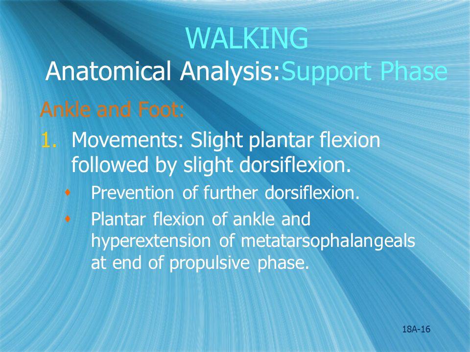 WALKING Anatomical Analysis:Support Phase