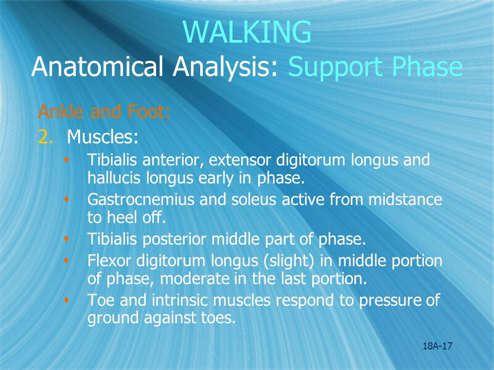 WALKING Anatomical Analysis: Support Phase