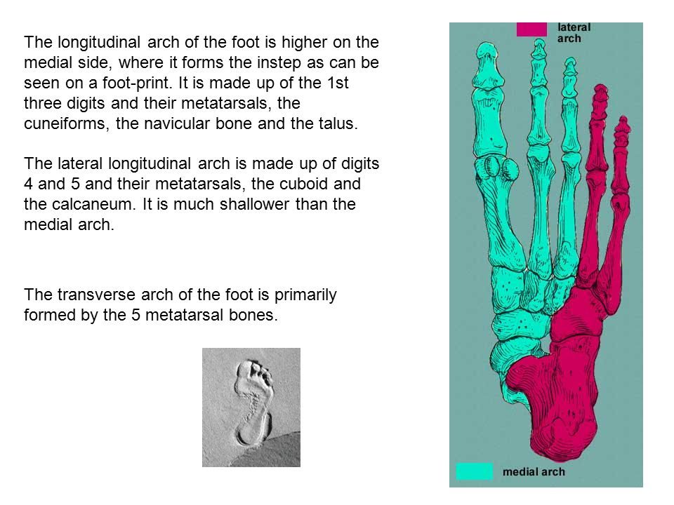 The longitudinal arch of the foot is higher on the medial side, where it forms the instep as can be seen on a foot-print. It is made up of the 1st three digits and their metatarsals, the cuneiforms, the navicular bone and the talus. The lateral longitudinal arch is made up of digits 4 and 5 and their metatarsals, the cuboid and the calcaneum. It is much shallower than the medial arch.
