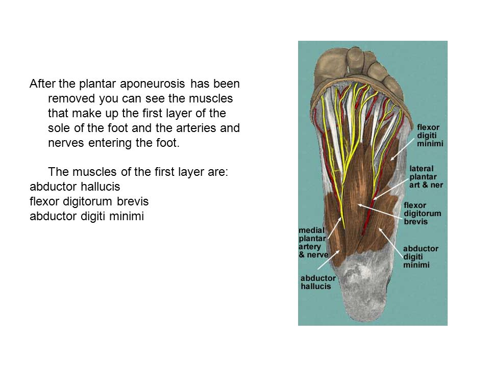 After the plantar aponeurosis has been removed you can see the muscles that make up the first layer of the sole of the foot and the arteries and nerves entering the foot. The muscles of the first layer are: