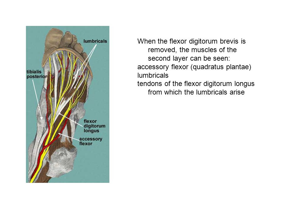When the flexor digitorum brevis is removed, the muscles of the second layer can be seen:
