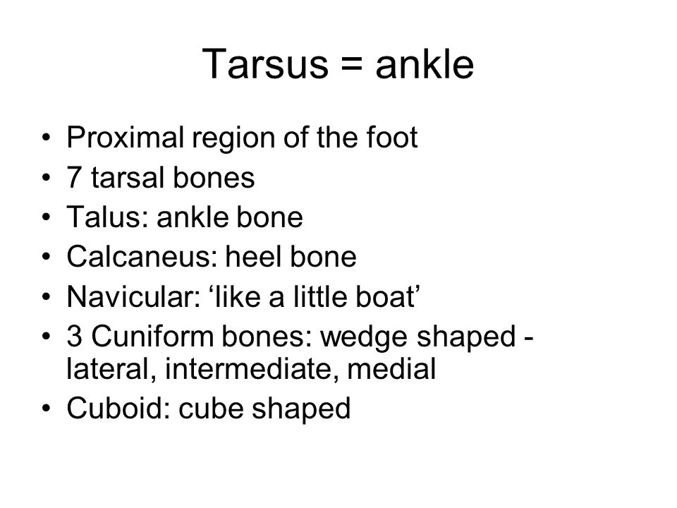 Tarsus = ankle Proximal region of the foot 7 tarsal bones