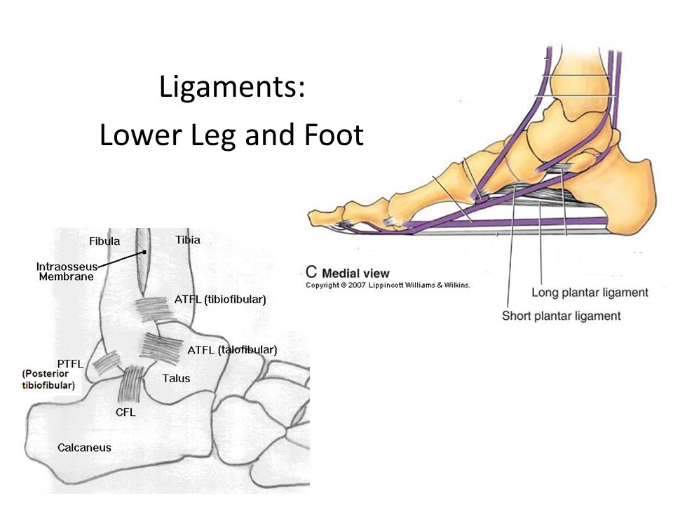 Ligaments: Lower Leg and Foot