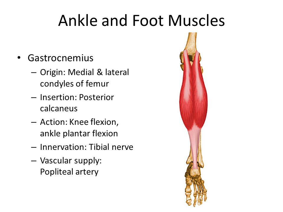 Ankle and Foot Muscles Gastrocnemius