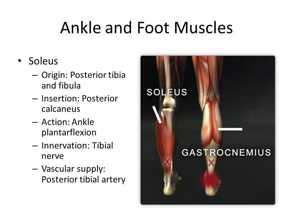 Ankle and Foot Muscles Soleus Origin: Posterior tibia and fibula