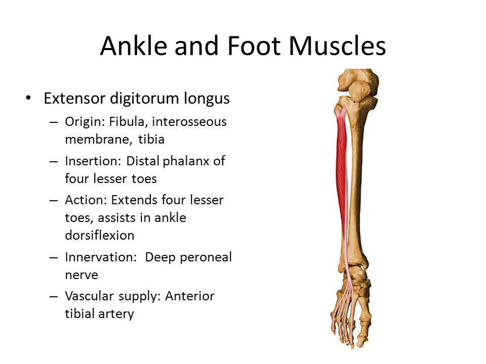 Ankle and Foot Muscles Extensor digitorum longus