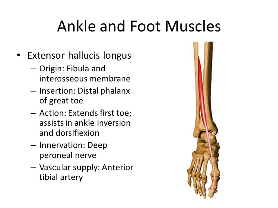 Ankle and Foot Muscles Extensor hallucis longus