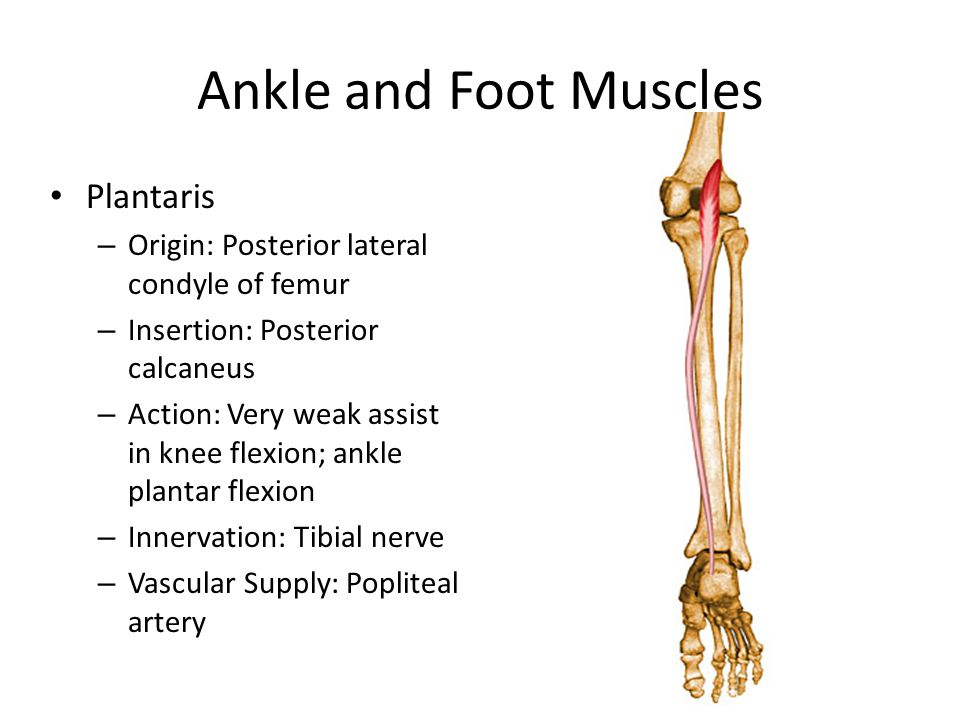 Ankle and Foot Muscles Plantaris