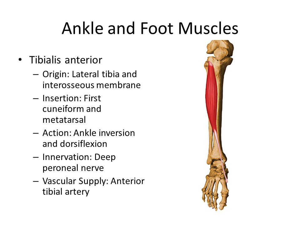 Ankle and Foot Muscles Tibialis anterior