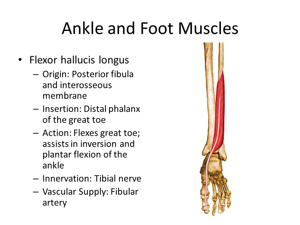 Ankle and Foot Muscles Flexor hallucis longus
