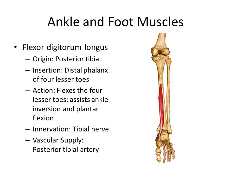Ankle and Foot Muscles Flexor digitorum longus Origin: Posterior tibia