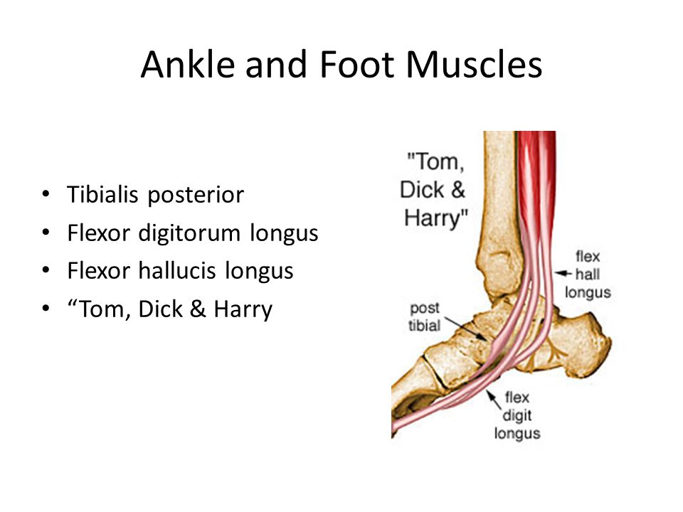 Ankle and Foot Muscles Tibialis posterior Flexor digitorum longus